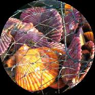 ヒオウギ貝(緋扇貝)